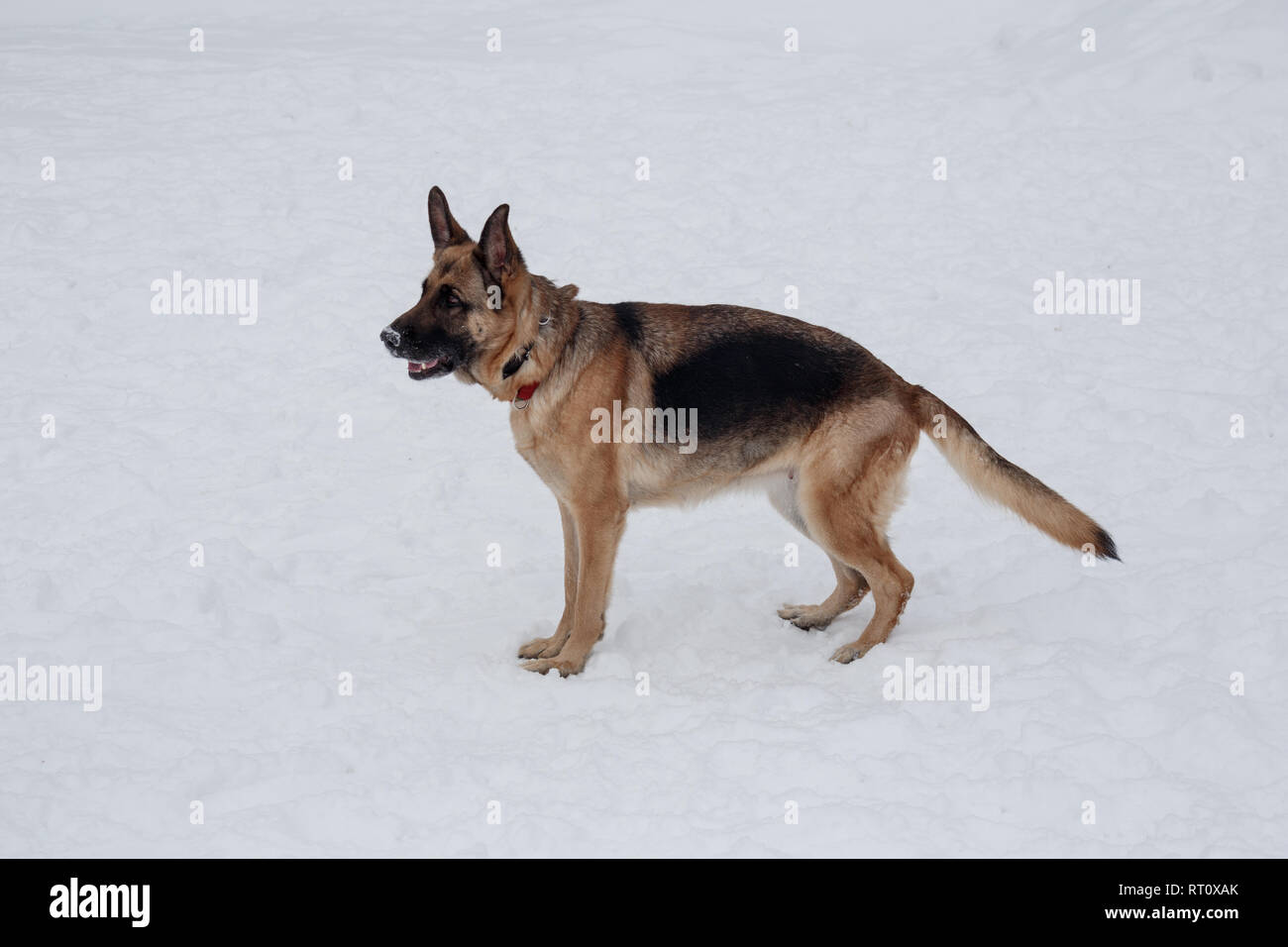 Cute german shepherd with black mask is standing on the white snow. Pet animals. Purebred dog. - Stock Image