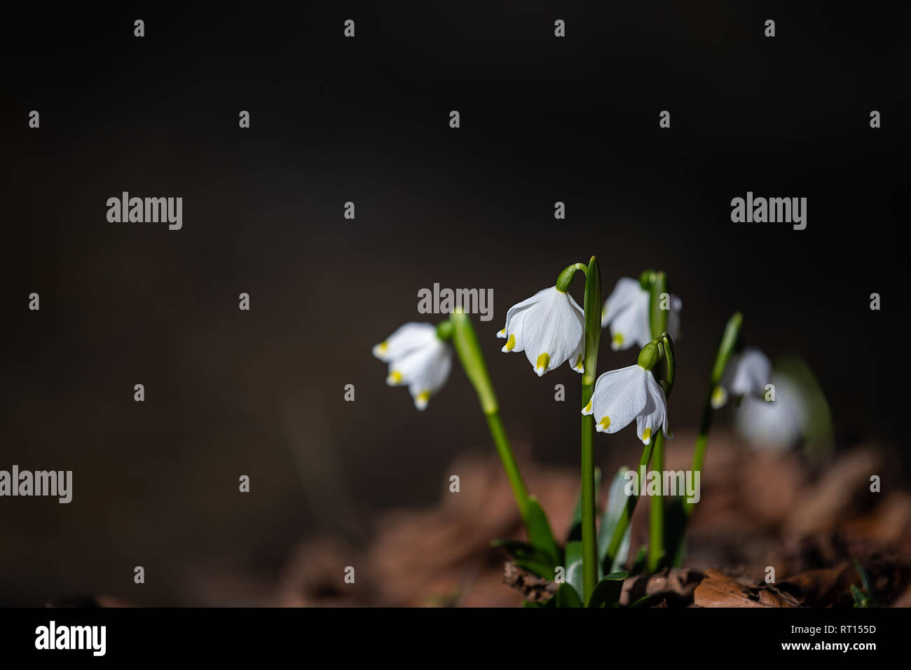 spring feelings, a bunch of snowdrops - Stock Image