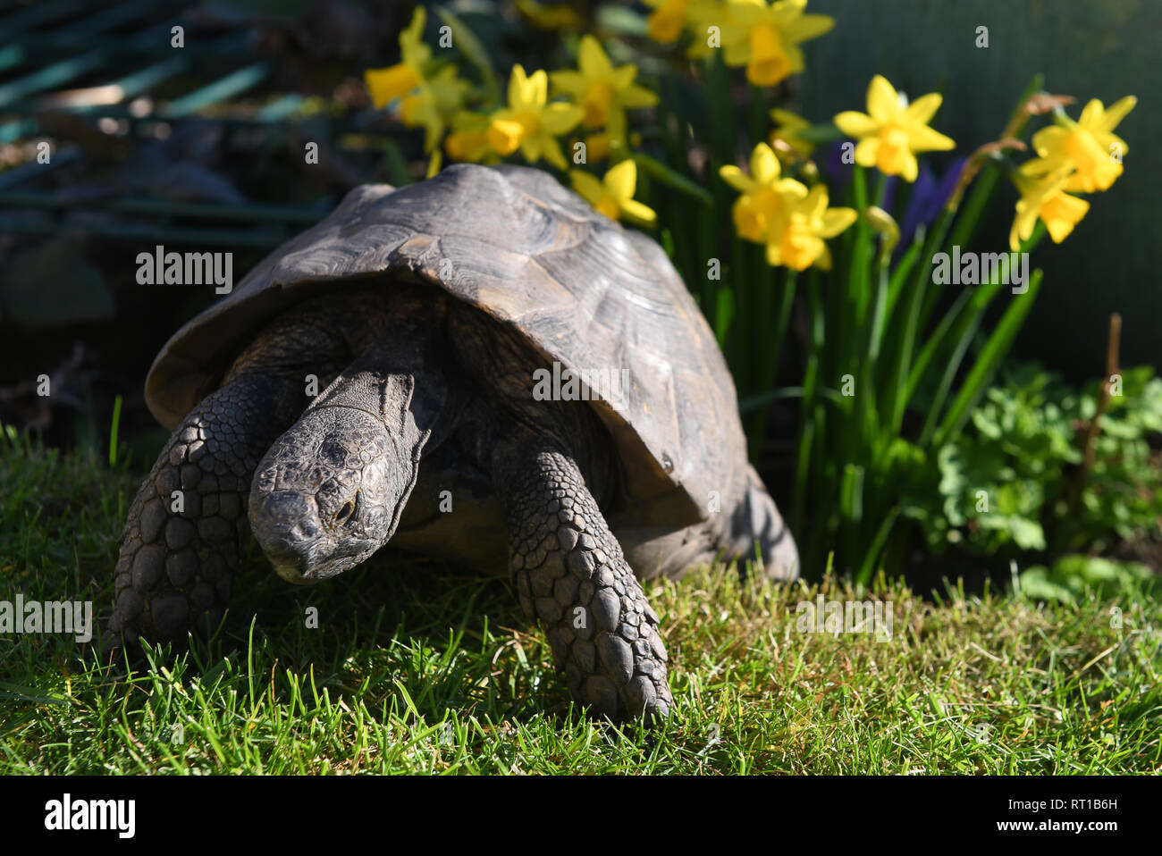 Telford, Shropshire. 27th Feb 2019. UK Weather: Early riser! The unseasonal hot weather woke this 35 year old pet tortoise a month early from his winter hibernation in Telford, Shropshire. The tortoise called 'Fred' self hibernates by burying himself underground in the garden in mid October and usually wakes at towards the end of March but with temperatures up to 19 degrees he could obviously smell spring in the air. Credit: David Bagnall/Alamy Live News - Stock Image