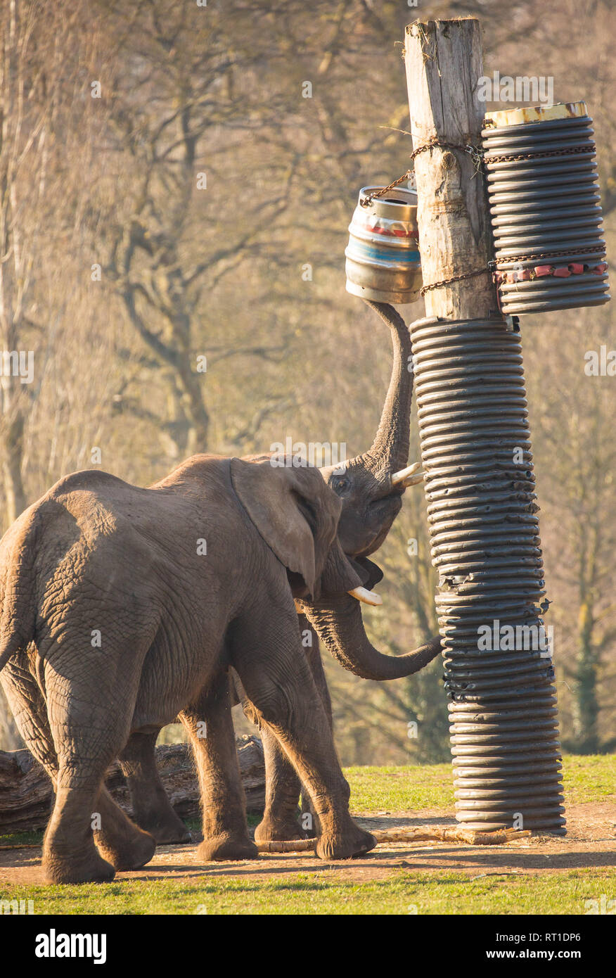 Bewdley, UK. 27th February, 2019. UK weather: as the unseasonably warm temperatures continue in the UK, even elephants seem to need a cool beer to enjoy in the sunshine at the end of the day! These African elephants at West Midlands Safari Park are out in the glorious sunshine reaching up to a suspended beer keg - perhaps not realising it is without contents. Credit: Lee Hudson/Alamy Live News - Stock Image