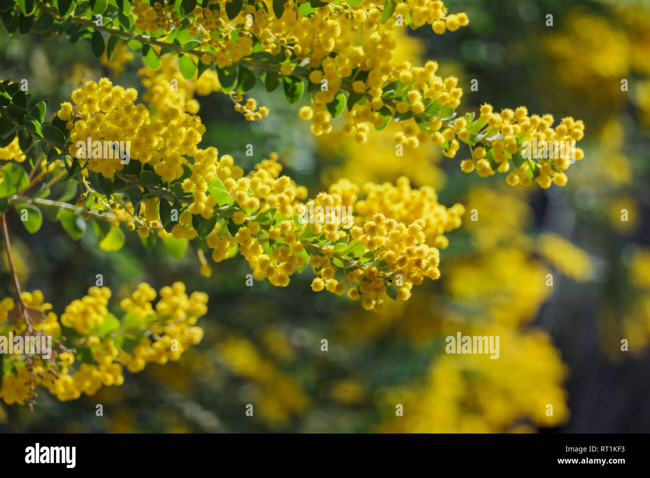 The beautiful Acacia chinchillensis (chinchilla wattle) blossom at Los Angeles, California - Stock Image