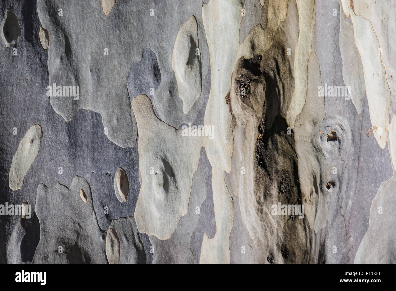 Close up shot of the Eucalyptus maculata tree trunk skin at Los Angeles, California - Stock Image
