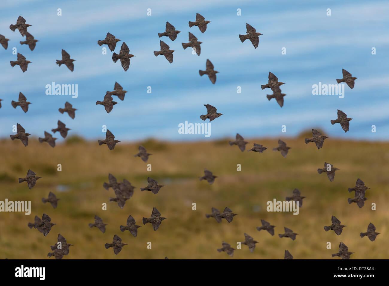 Star, Stare, Trupp, Schwarm, Starenschwarm, sammeln sich im Herbst zum Zug gen Süden, Sturnus vulgaris, European starling, common starling, L'Étournea - Stock Image
