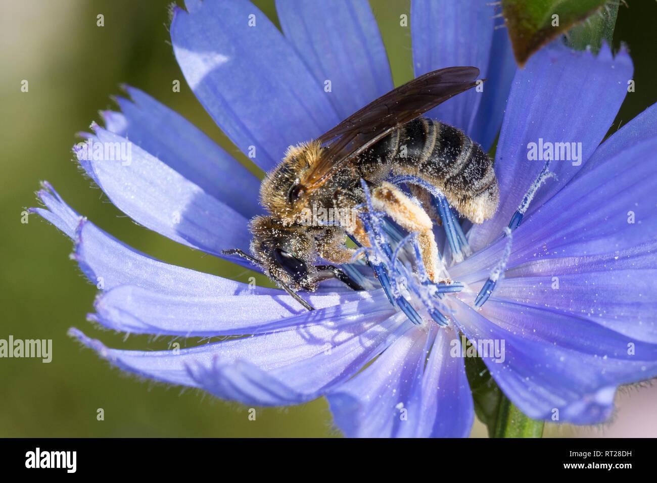 Sechsbindige Furchenbiene, Weißbindige Furchenbiene, Furchenbiene, Blütenbesuch an Wegwarte, Halictus cf. sexcinctus, six-banded furrow bee, Furchenbi - Stock Image