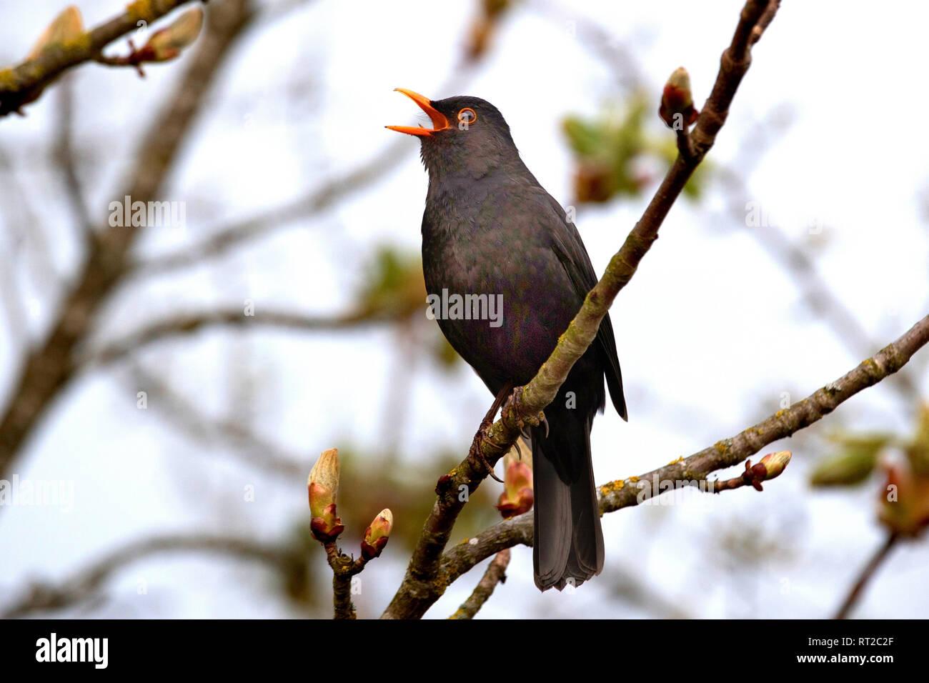 Blackbird, blackbird in the spring, throttle, throttles, real throttles, cultural followers, black throttle, singing blackbird, songbird, sparrow's bi Stock Photo