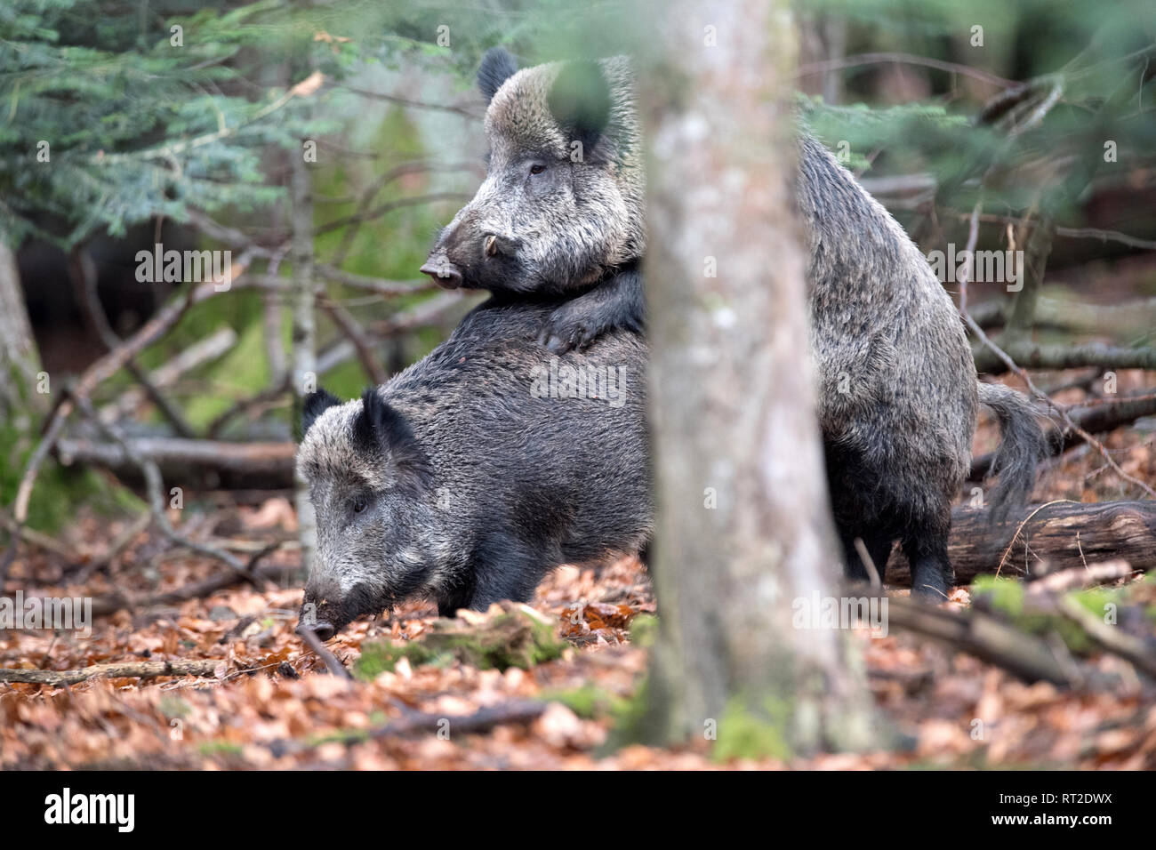 Aufreiten, pigs, beech mast, beech forest, Copula, real pigs, cloven-hoofed animals, mating, mating act of wild boars, sow, making a mess, making a me - Stock Image