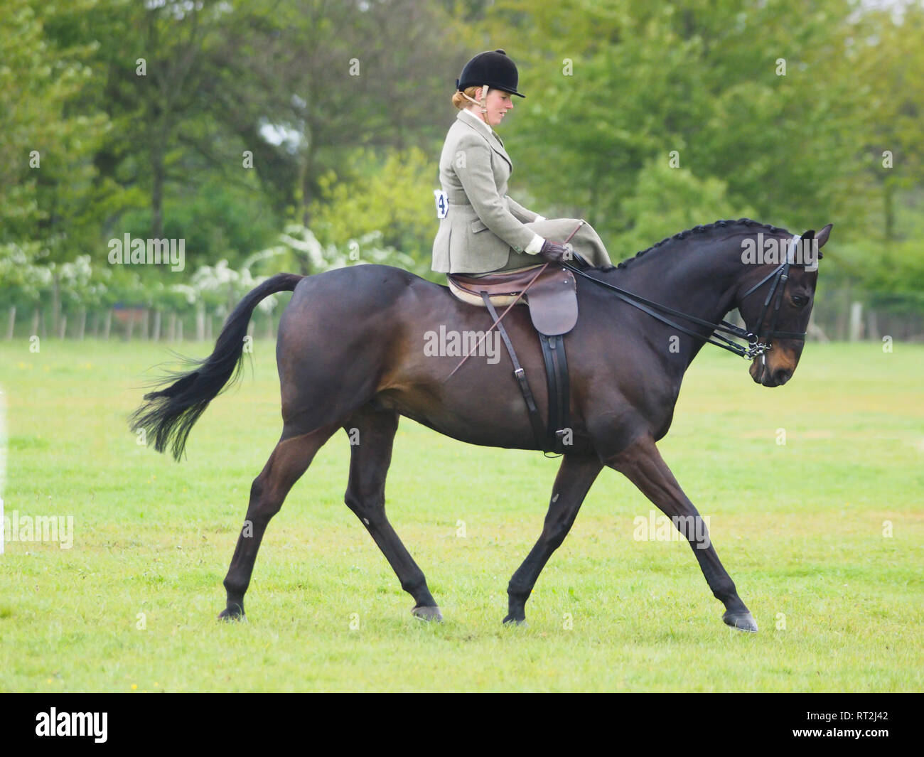 a50ad11a88e5 A lady in traditional hunting outfit rides a bay horse sidesaddle. - Stock  Image