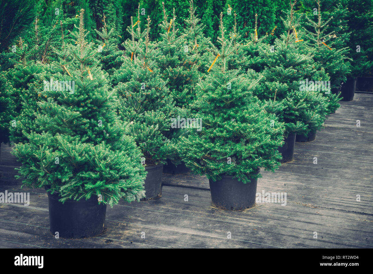 Christmas trees in pots for sale. Retro toned photo. - Stock Image