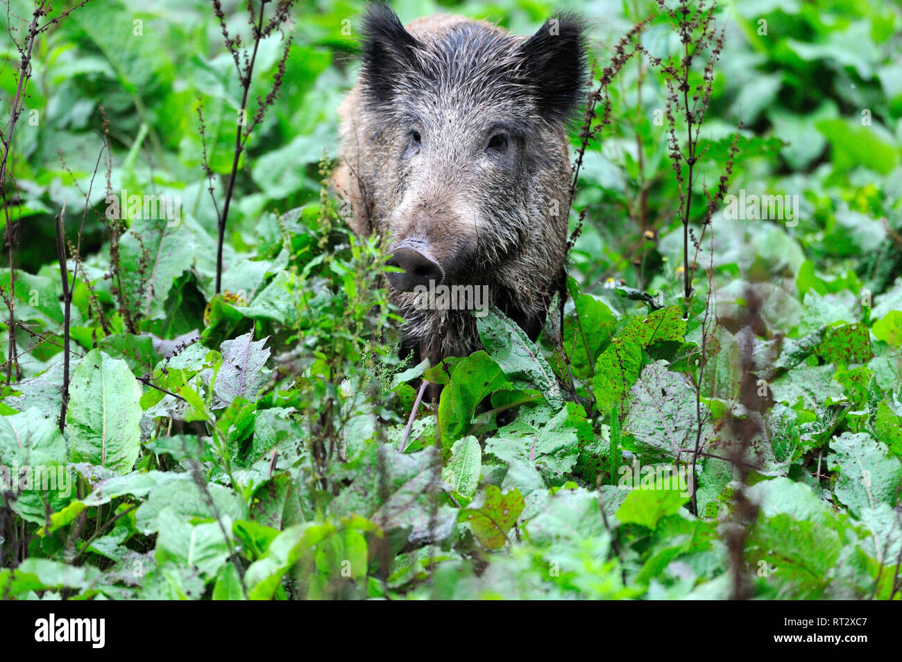 Pigs, real pigs, cloven-hoofed animals, sow, making a mess, black smock, black game, pig, pigs, Suckel, Sus scrofa scrofa, mammals, wild boar, wild bo - Stock Image