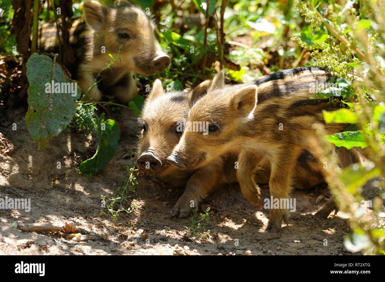 Pigs, real pigs, young wild boars, cloven-hoofed animals, sow, making a mess, black smock, black game, pig, pigs, Suckel, Sus scrofa scrofa, mammals,  - Stock Image