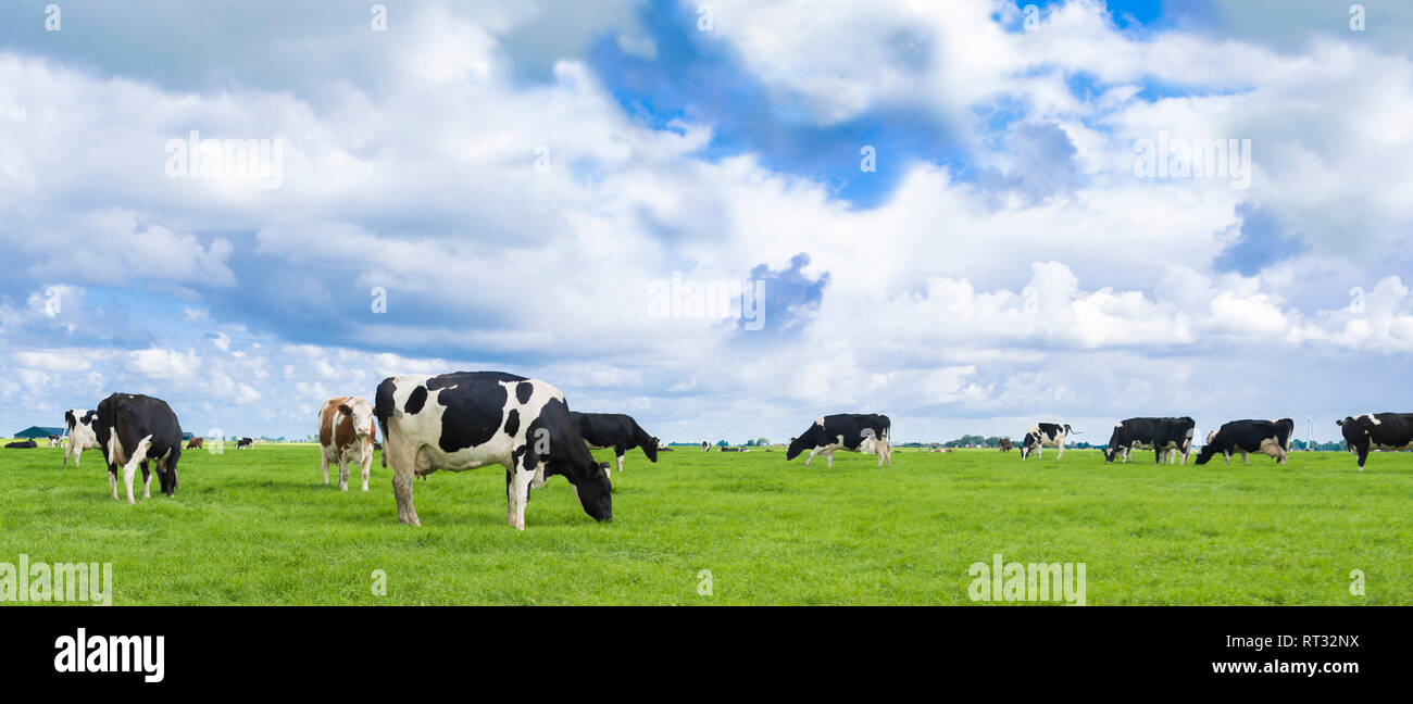 Holstein Friesian cows i na field in the Netherlands with beautiful sky. Stock Photo