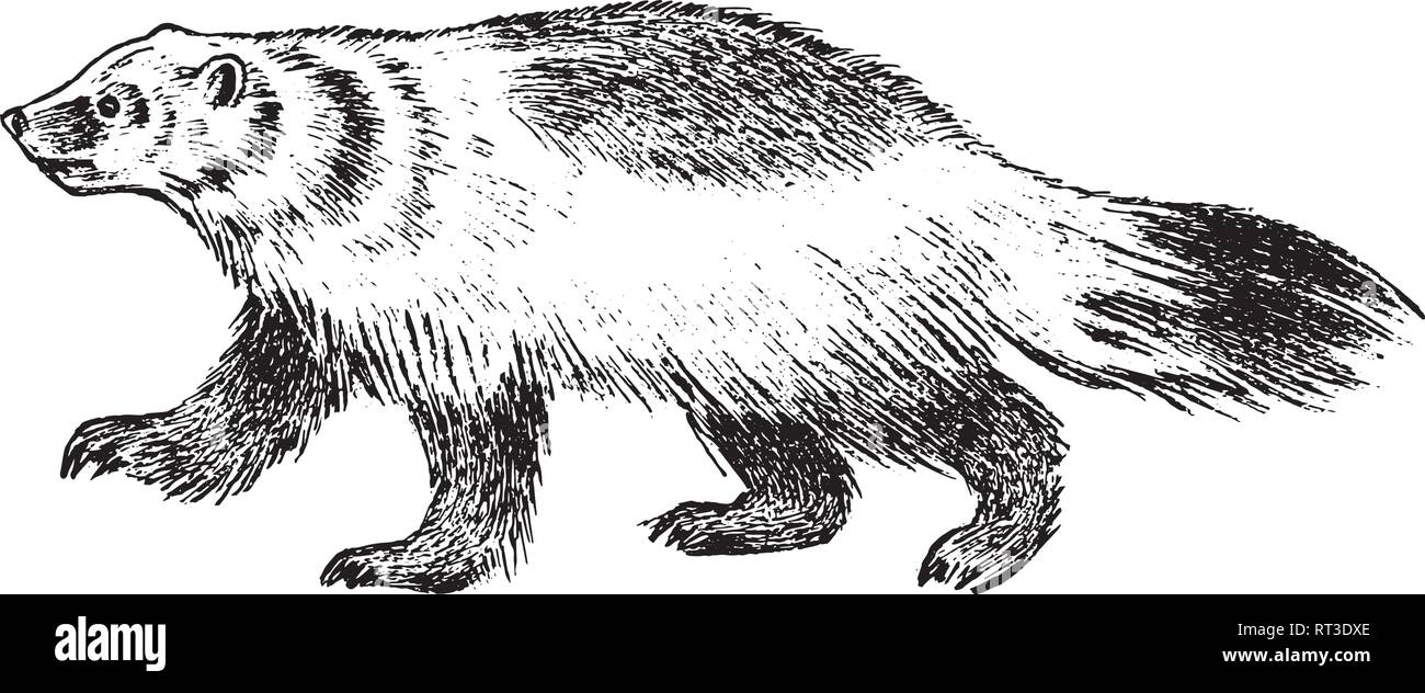 Wild Badger, forest animal. Symbol of the north. Vintage monochrome style. Mammal in Europe. Engraved hand drawn sketch for banner or label. - Stock Vector