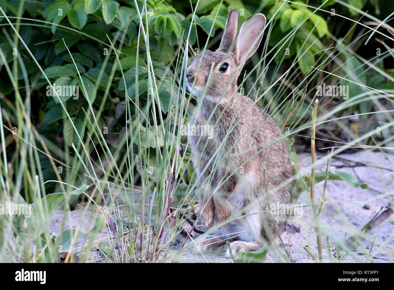 Cuniculus, local animals, free living person animals, grey sporty little jobs, grey sporty little jobs, hare-like, hunting-cash game, rabbit fur, rabb - Stock Image