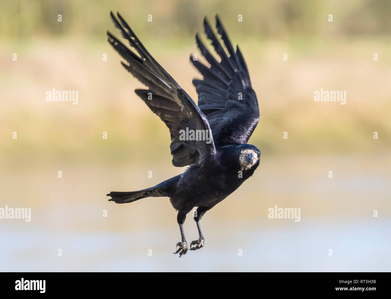Adult Rook (Corvus frugilegus) flying while looking round with wings up in Winter in West Sussex, UK. - Stock Image