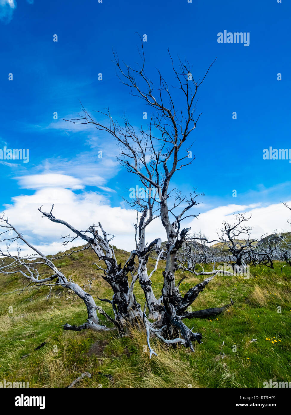 Chile, Patagonia, Torres del Paine National Park, dead trees - Stock Image