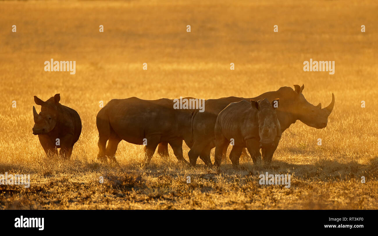 Group of white rhinoceros (Ceratotherium simum) in dust at sunset, South Africa Stock Photo