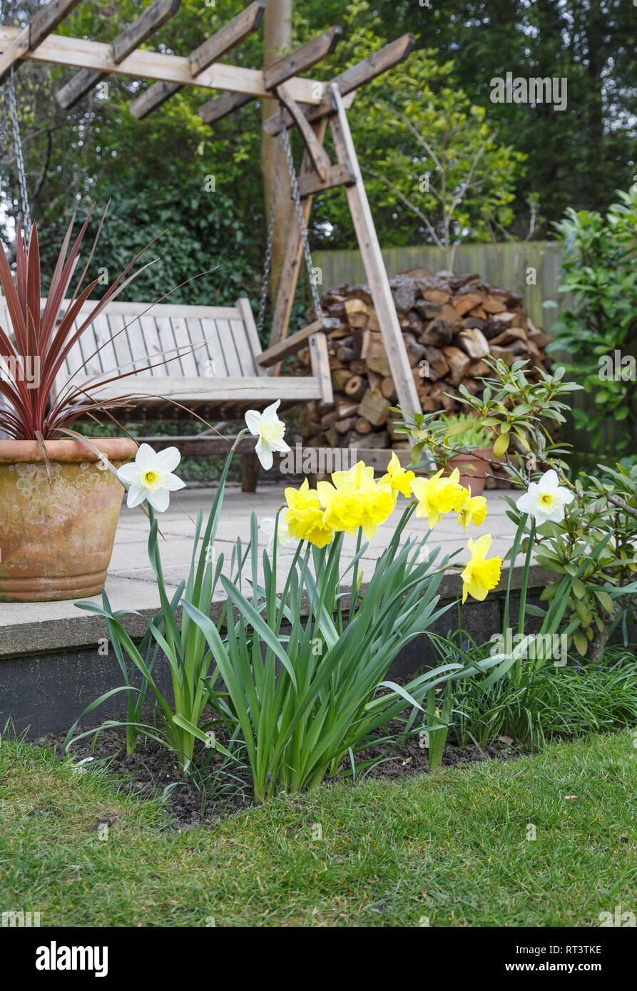 Yellow and white daffodils in a garden border in front of a patio with a swing bench Stock Photo