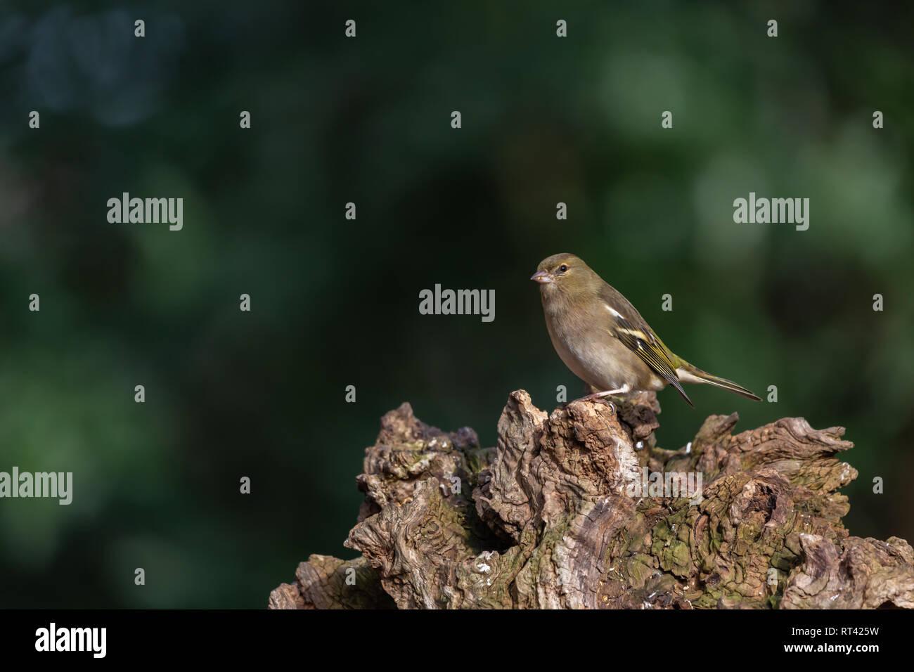 Grünfink auf einem Baumstamm - Stock Image
