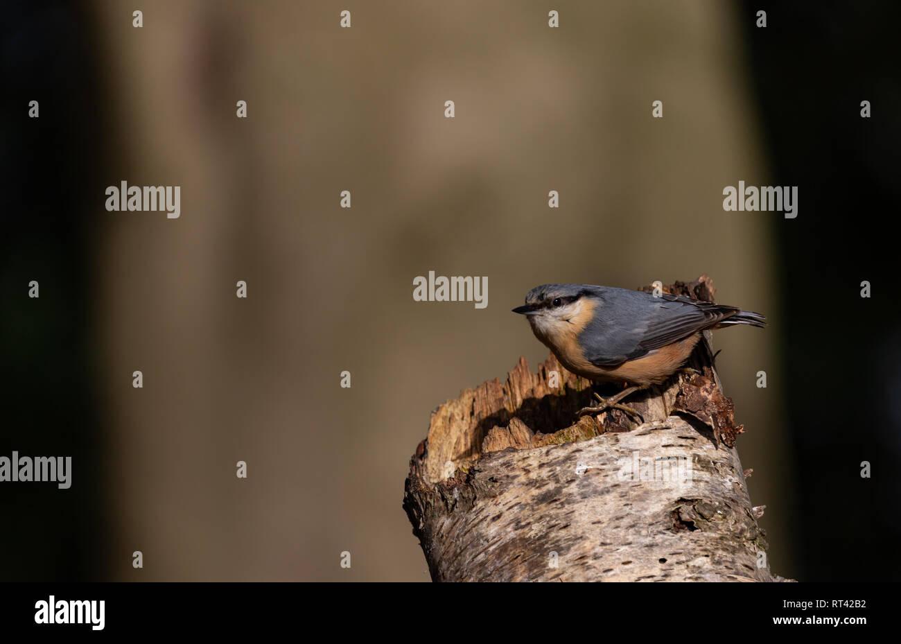 Kleiber sitzt auf einem Baumstamm - Stock Image