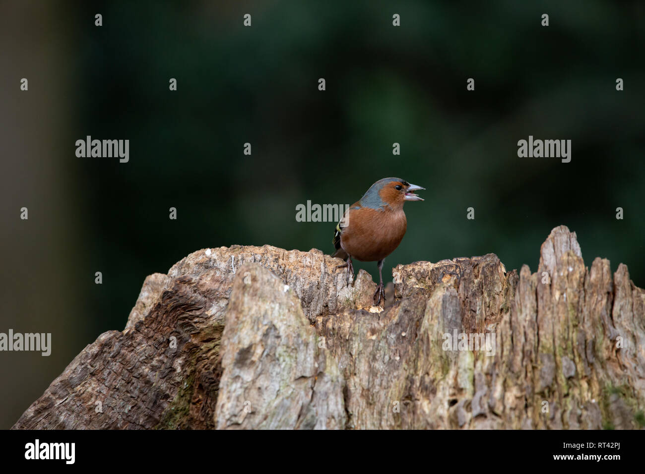 Buchfink auf einem Baumstamm - Stock Image