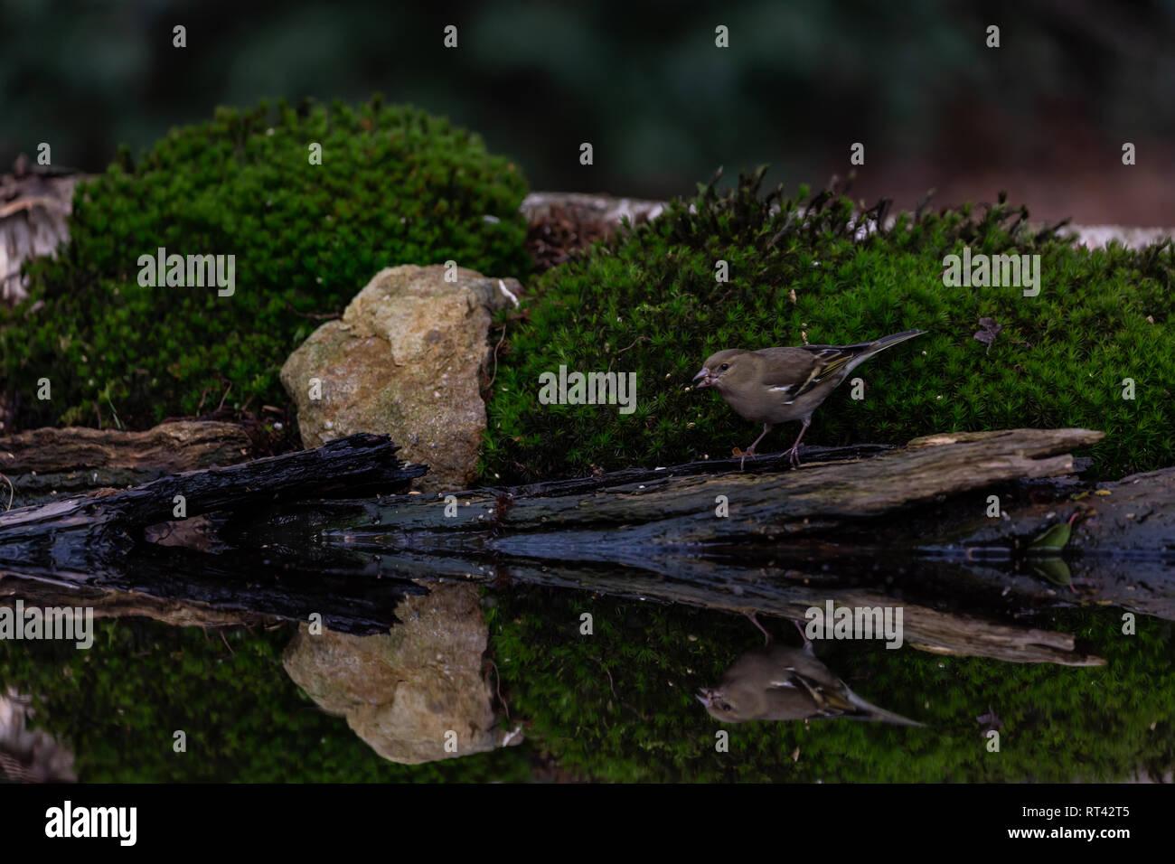 Grünfink am Wasser - Stock Image