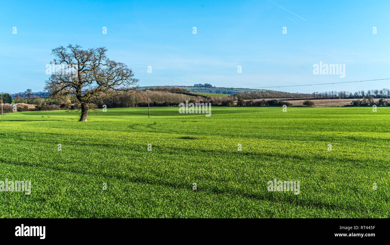 English Countryside  with young wheat field with a tree in the foreground ,  and Brailes Hill, Warwickshire, UK in the back ground - Stock Image