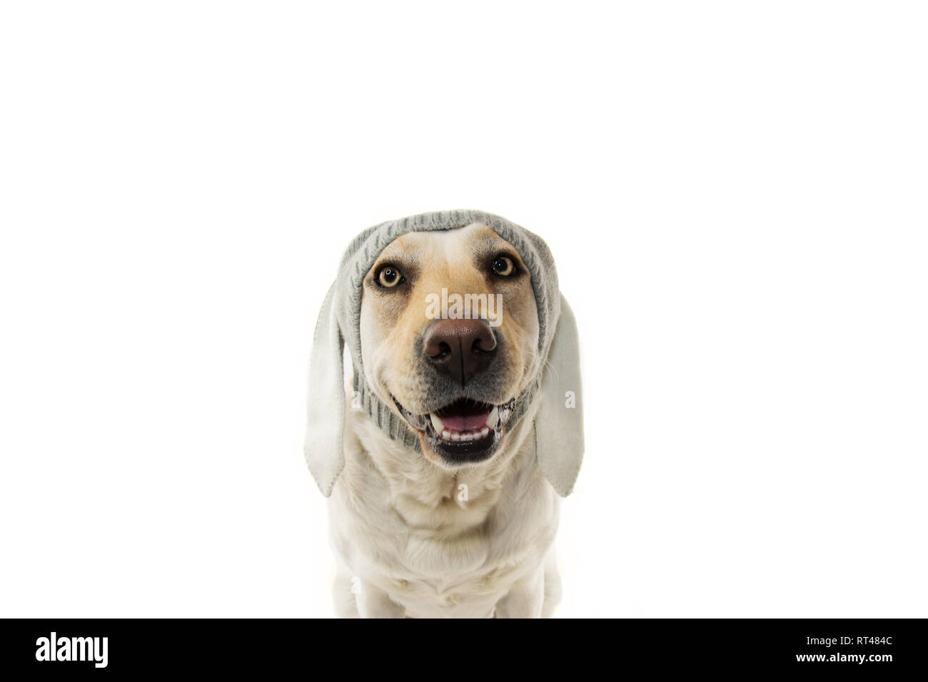 FUNNY EASTER DOG. LABRADOR RETRIEVER PUPPY WITH RABBIT EARS. ISOLATED AGAINST WHITE BACKGROUND. - Stock Image