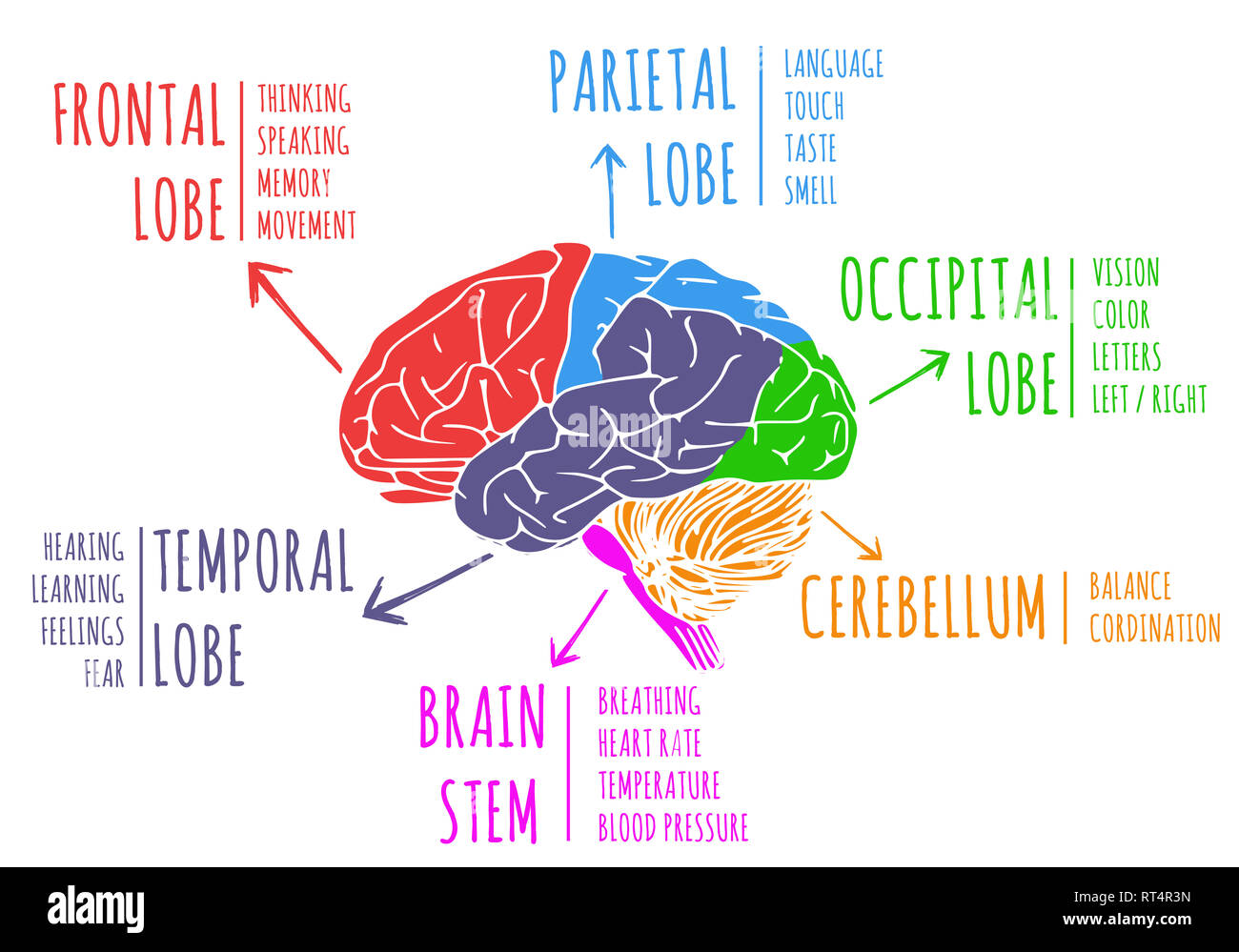 Illustration of human's brain region and function - Stock Image