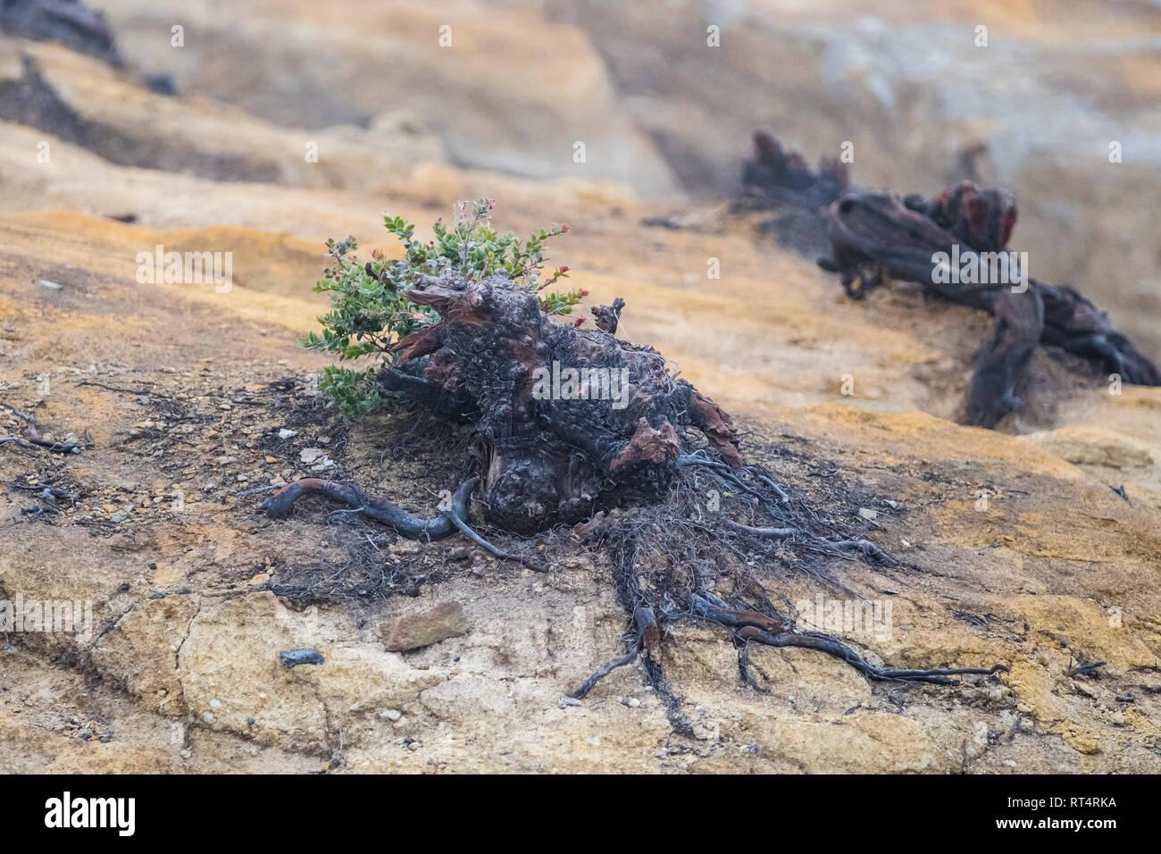 Charred roots on Ijen volcano ridge, Ijen crater, Banyuwangi, Jawa Timur, Indonesia Stock Photo