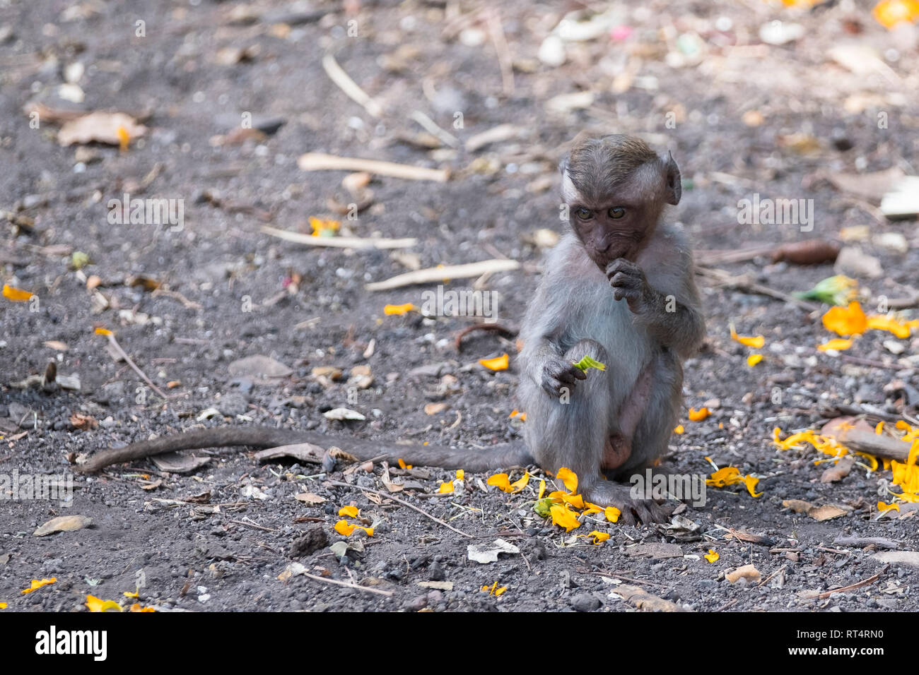 macaque (Macaca fascicularis), eats leaves from tree, Bali, Indonesia Stock Photo