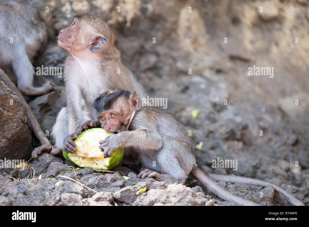 Crab-eating macaque (Macaca fascicularis), eats leaves from tree, Bali, Indonesia Stock Photo