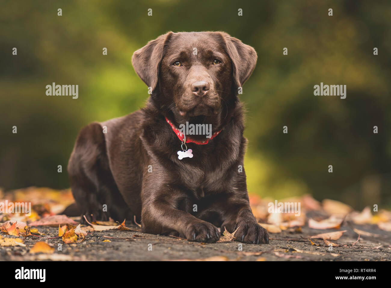 a chocolate labrador lying down in autumn leaves - Stock Image