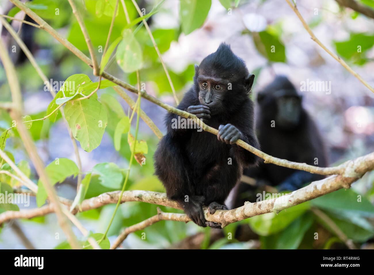 Celebes Crested Macaque (Macaca nigra), Tangkoko National Park, Sulawesi, Indonesia Stock Photo