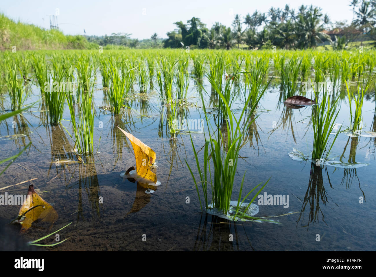 Rice fields in Bali, Indonesia Stock Photo