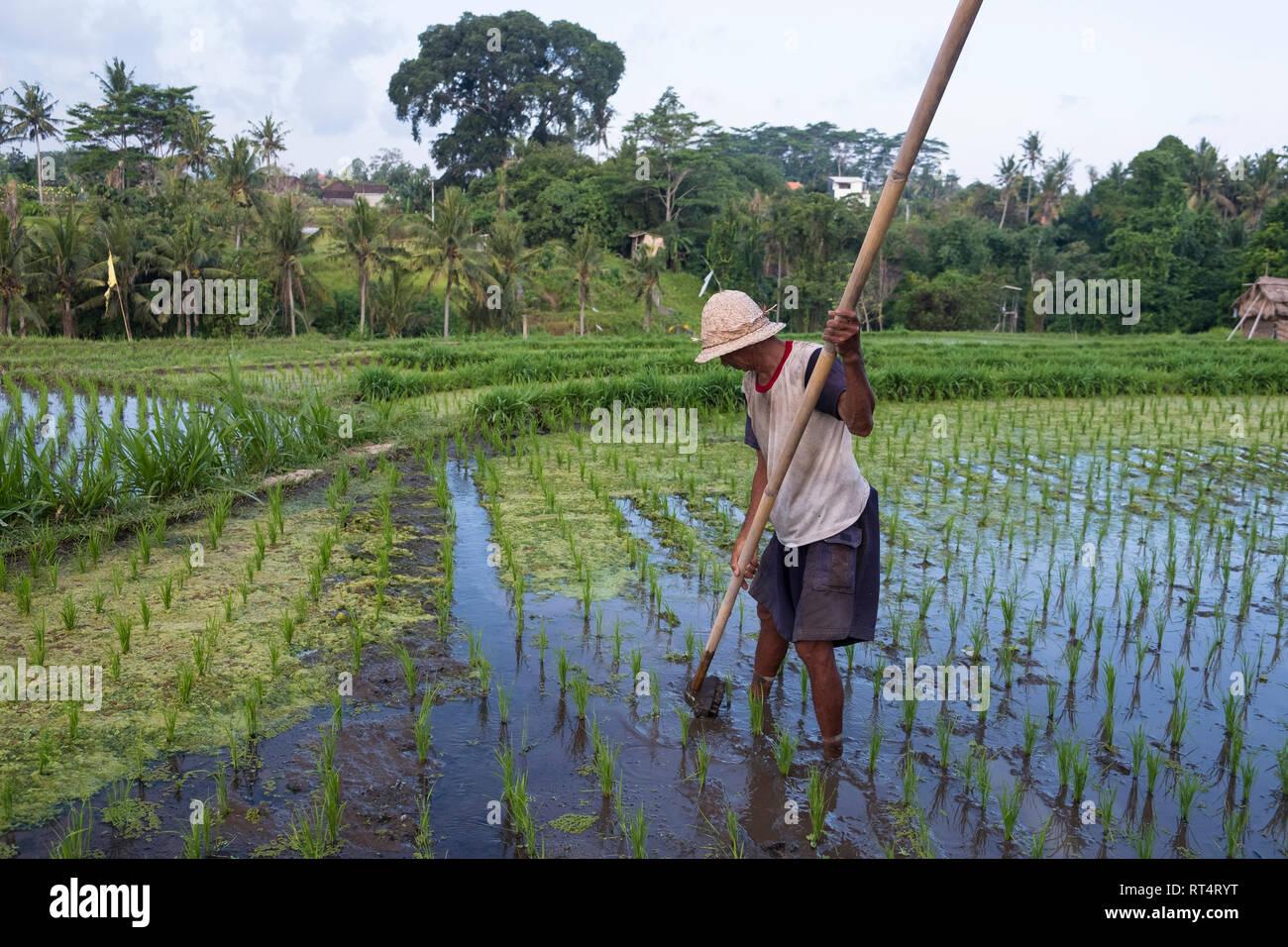 Rice farmer in the rice terraces of Jatiluwih, Bali, Indonesia Stock Photo