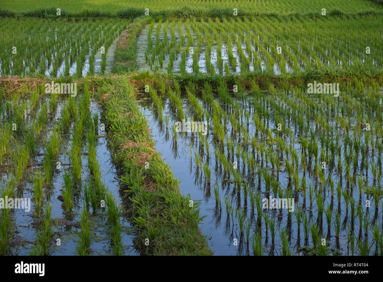 Rice fields in Bali, Indonesia Stock Photo