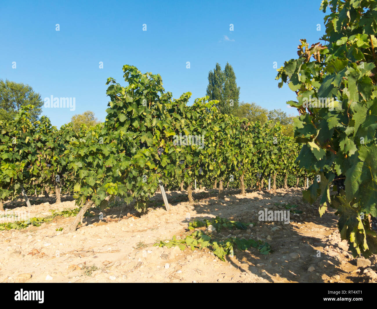 Field with vineyards in Logroño, in the Spanish region of La Rioja, famous for its production of red wine. La Rioja is the region with the highest win Stock Photo