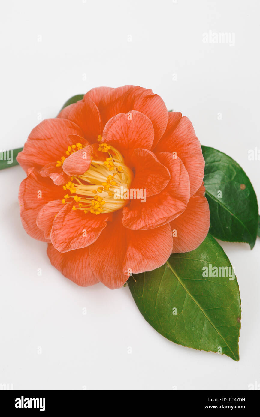 Camellia japonica 'The Czar'. Flowers. France - Stock Image