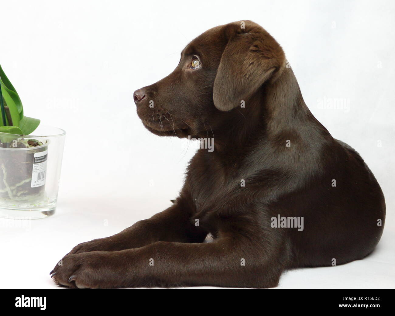 Leo the Labrador - Stock Image