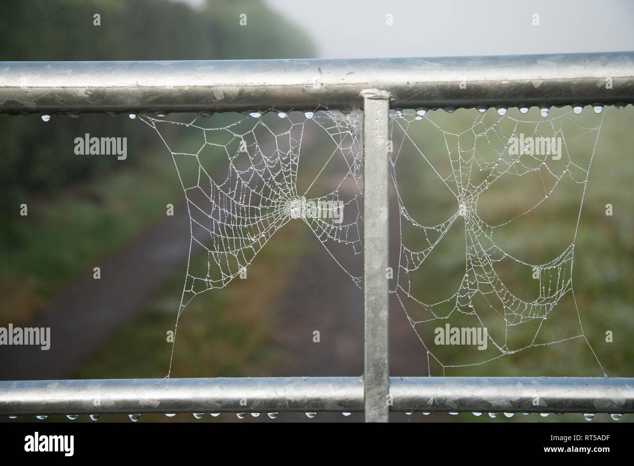 Cobweb spun on a metal gate, first thing in the morning it is covered in dew drops on a misty autumnal morning in England Stock Photo