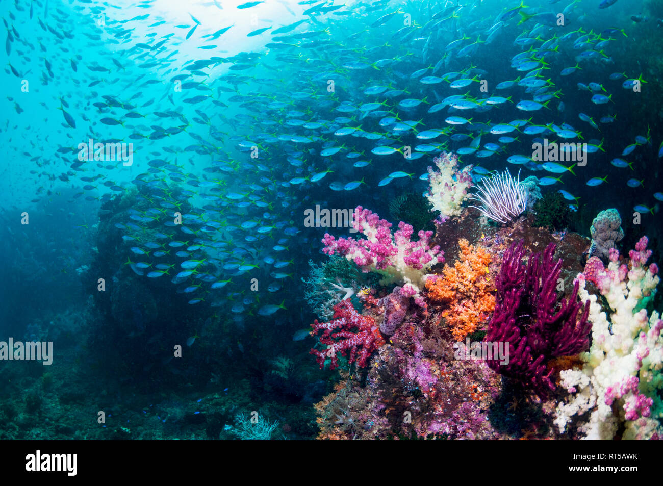 Coral reef scenery with soft corals [Dendronephthya sp.] and a school of Yellowback fusiliers [Ceasio teres].  West Papua, Indonesia. Stock Photo