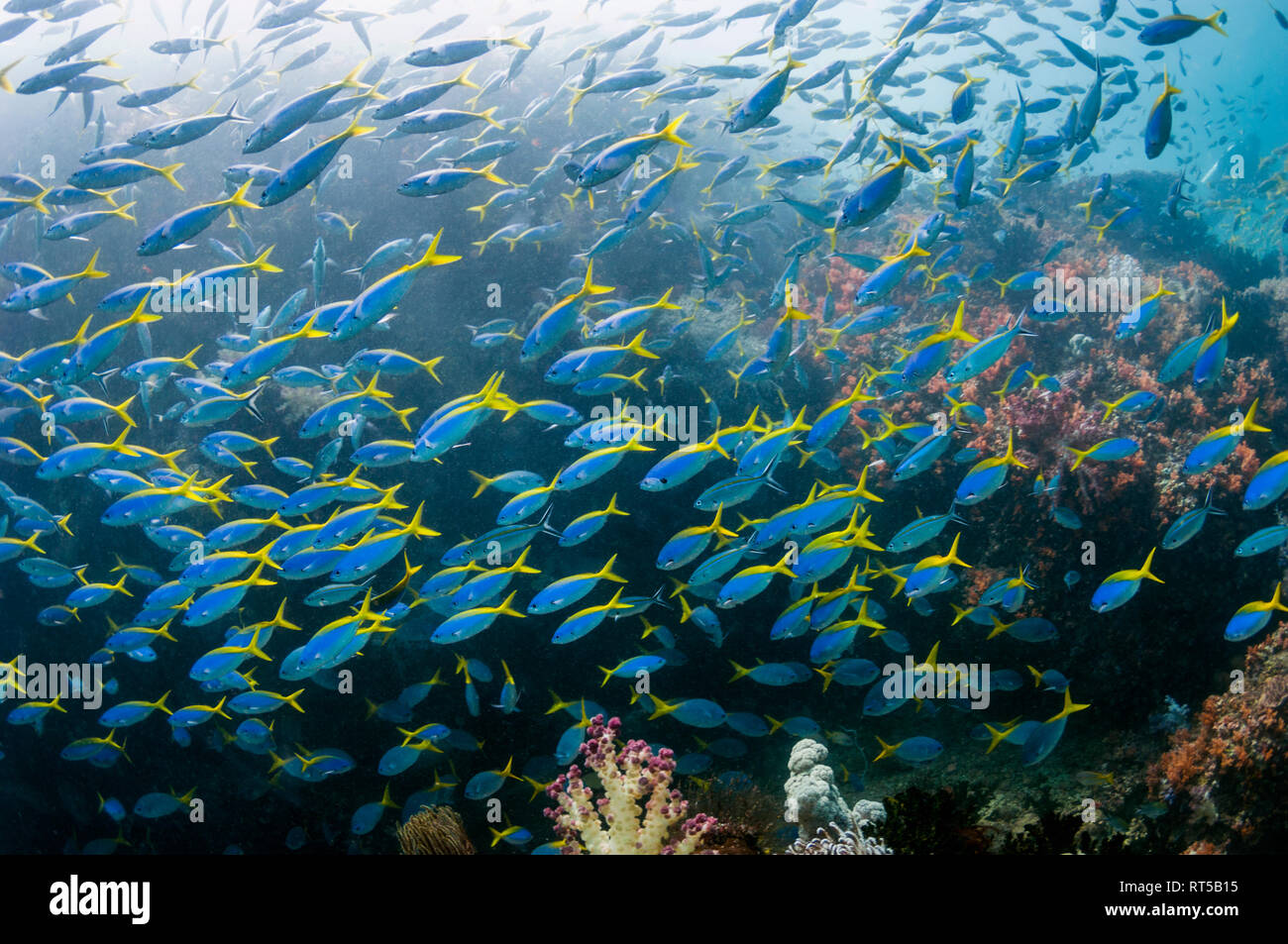 Mixed school of Scissor-tailed fusiliers [Caesio caerulaurea] and Yellowback fusiliers [Caesio teres] over coral reef.  West Papua, Indonesia. Stock Photo