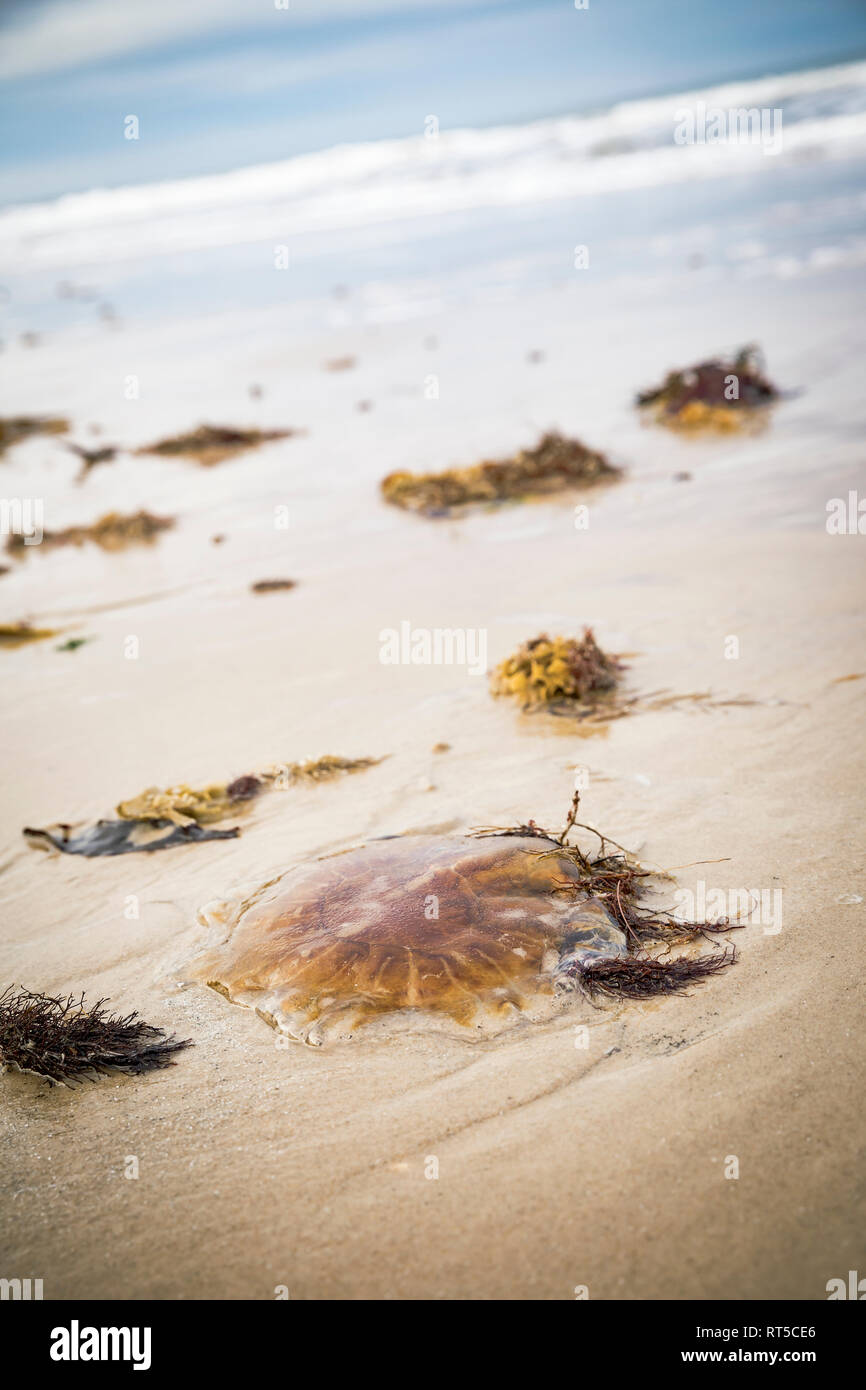 Denmark, stranded compass jellyfish on the beach Stock Photo
