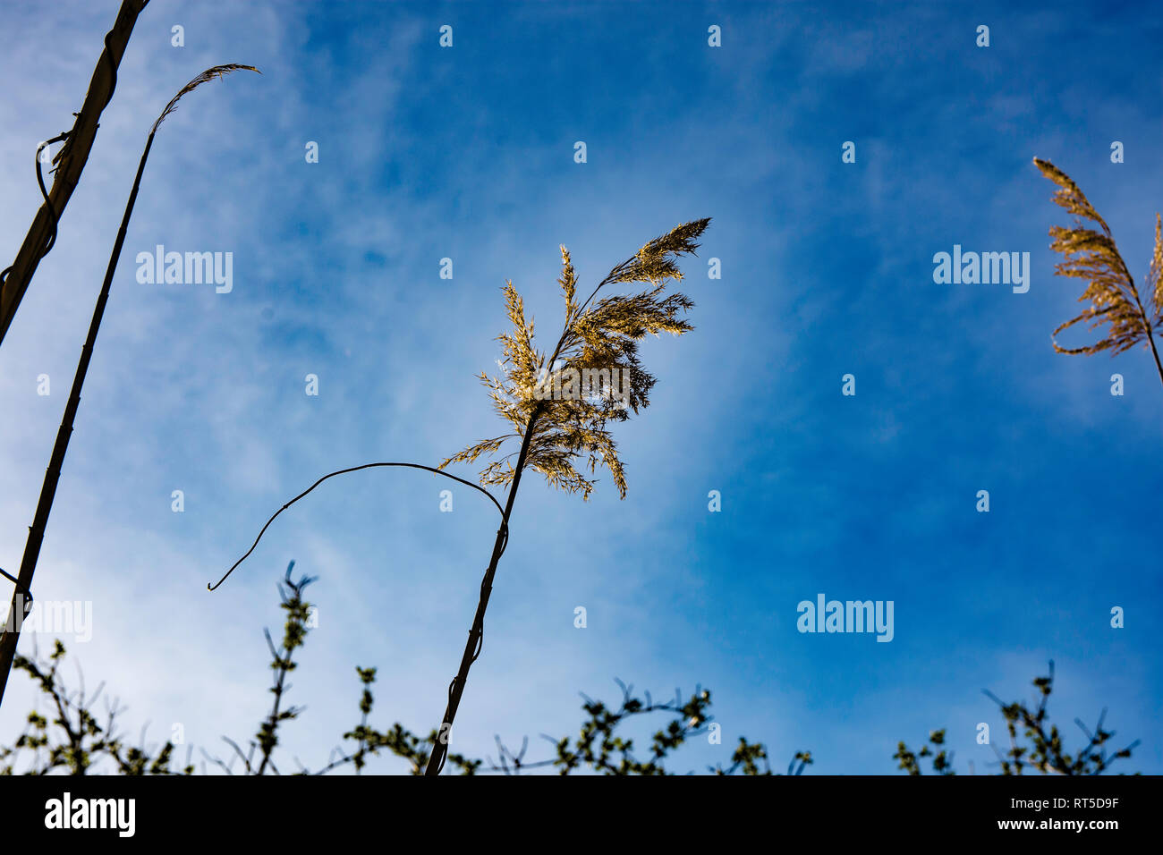 beautiful swamp grass, also known as Schoenoplectus, Bulrushes, pampas, on a blurred background - Stock Image