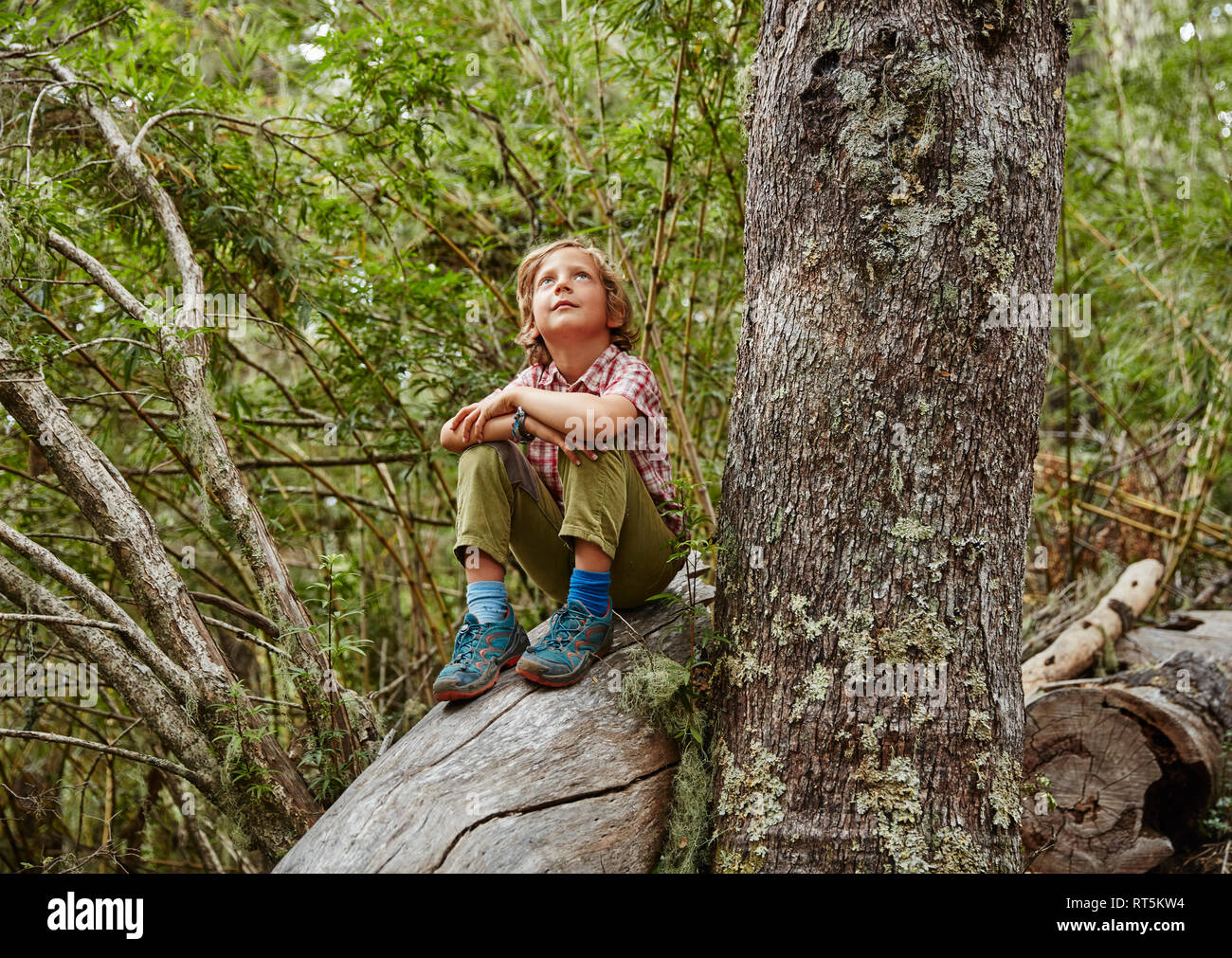 Chile, Puren, Nahuelbuta National Park, boy sitting on a tree in forest looking up - Stock Image