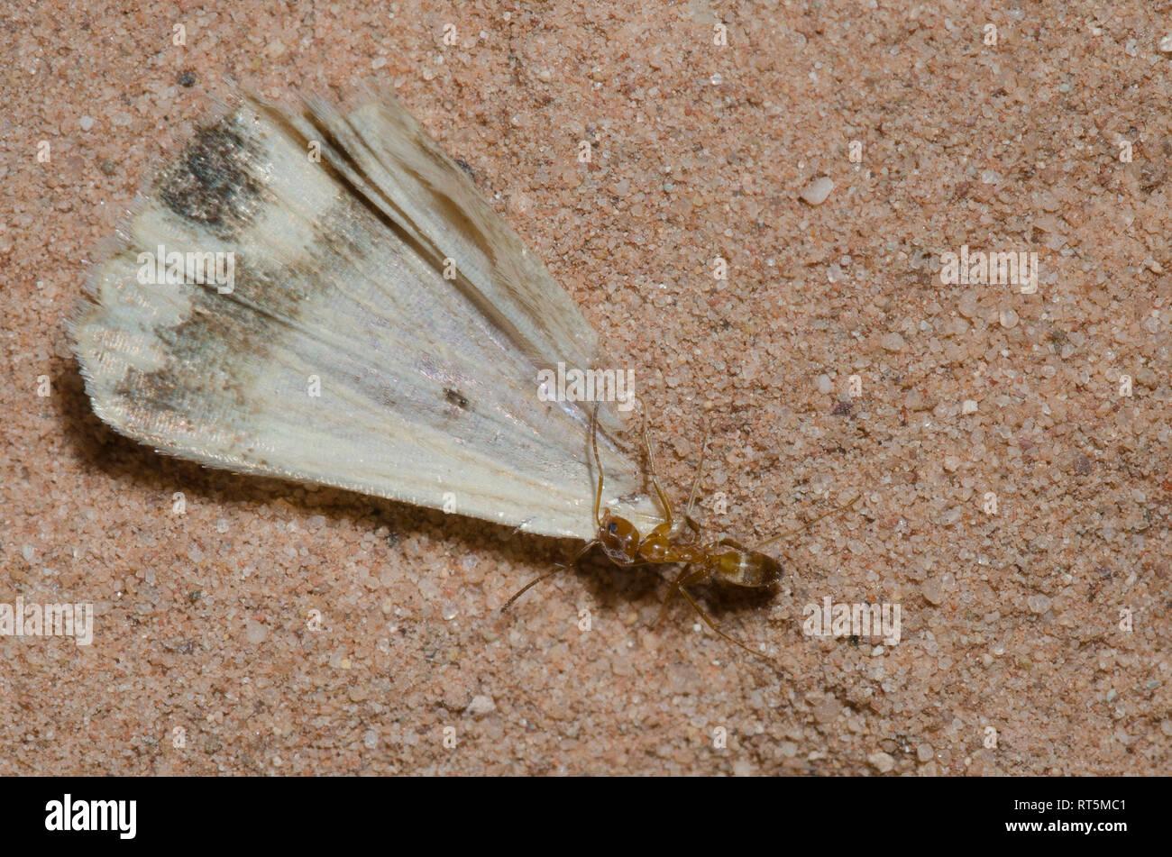 Pyramid Ant, Dorymyrmex flavus, hauling moth wing - Stock Image