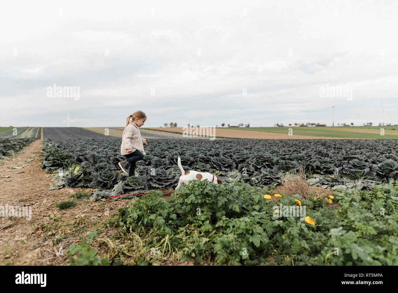 Girl playing with dog at a cabbage field - Stock Image