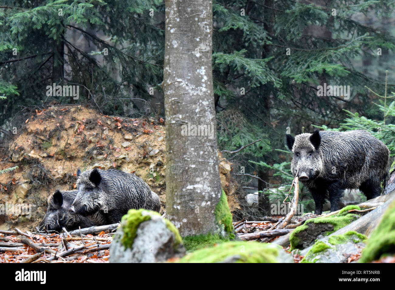 Pigs, beech mast, Buchenwald, real pigs, cloven-hoofed animals, sow, making a mess, making a mess in winter, black smock, black game, pig, pigs, Sucke - Stock Image