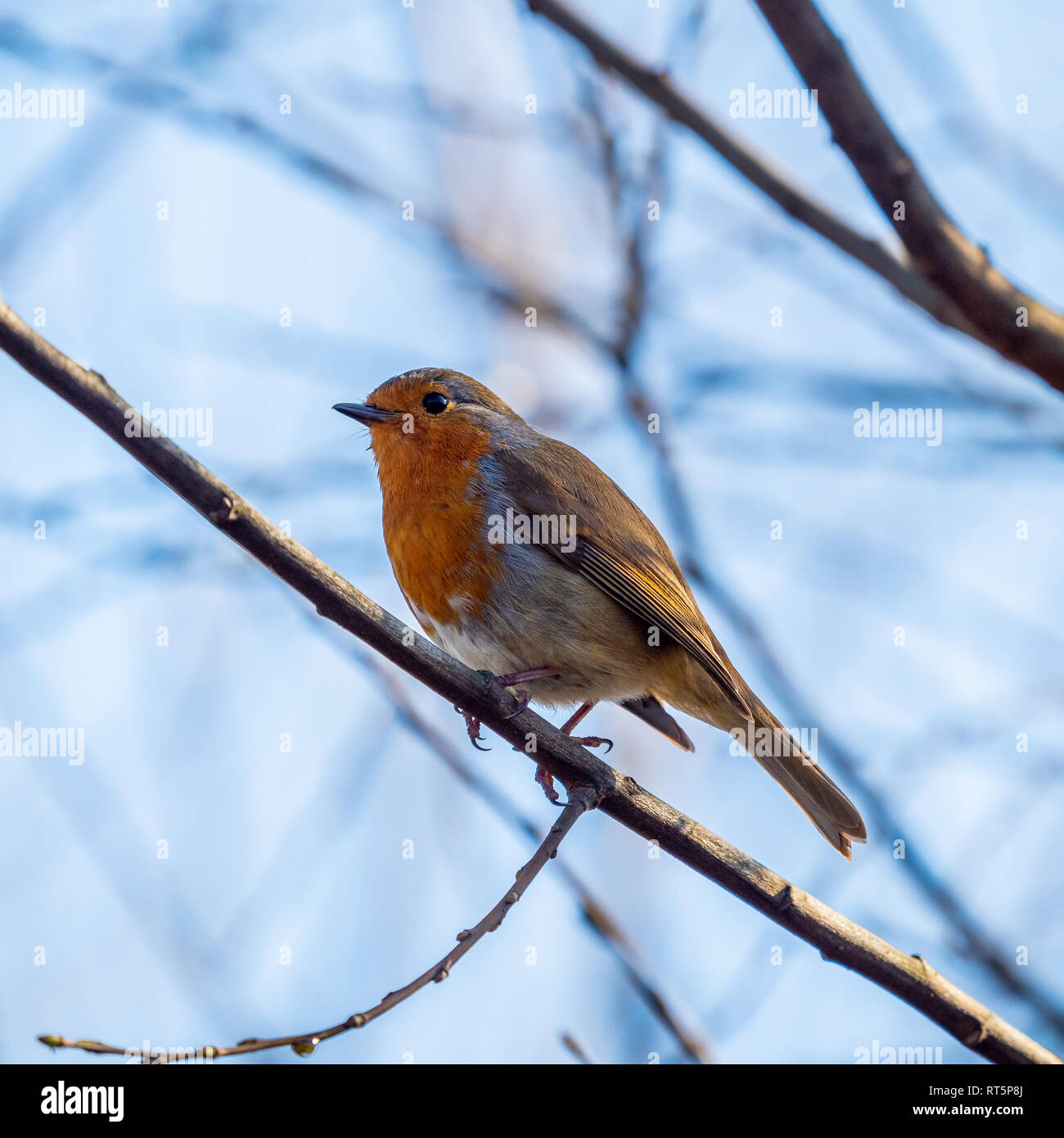 A small Robin (erithacus rubecula) perched on a tree branch Stock Photo