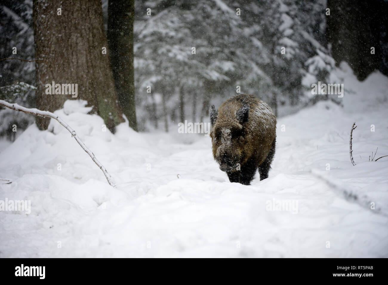Wild boar, Sus scrofa scrofa, sow, making a mess, wild boars, black game, black smock, cloven-hoofed animal, pigs, pig, vertebrates, mammals, real pig Stock Photo